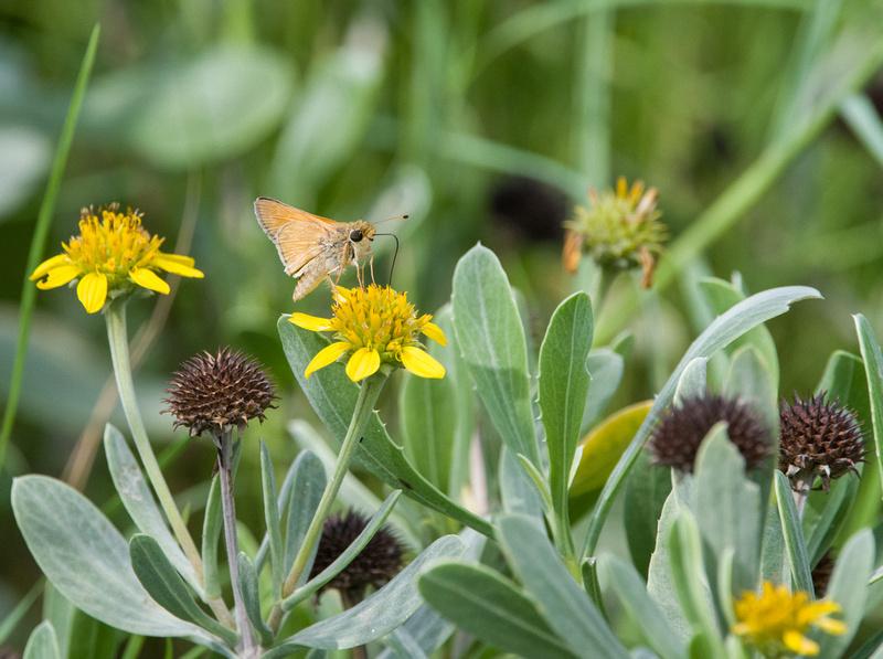 Sachem Butterfly